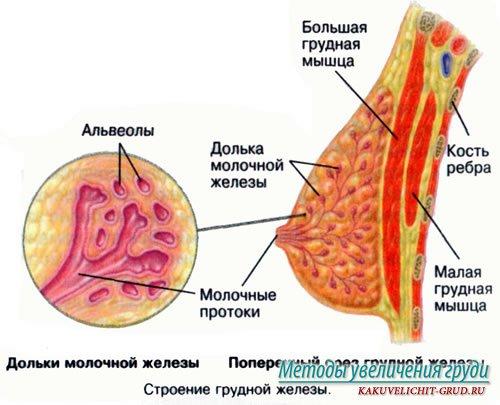 Внутренность женских грудей фото 594-705